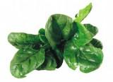 freshh-spinach